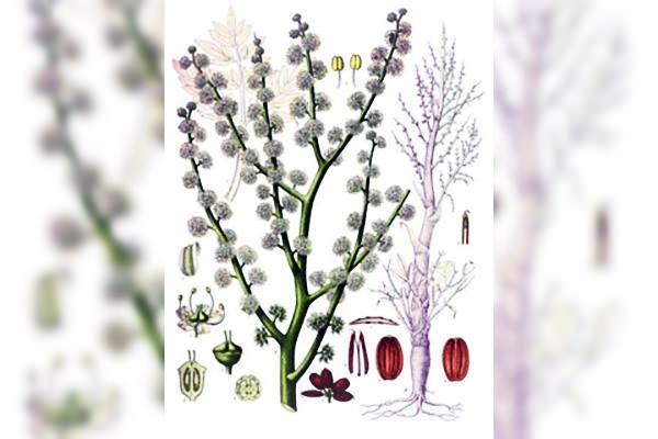 Ammoniacum gummi, homeopatie, sănătate, vindecare, cabinet medical, cabinet homeopatie, imunitate, vitalitate