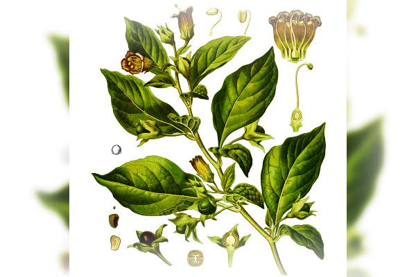 Belladonna, foto wikipedia