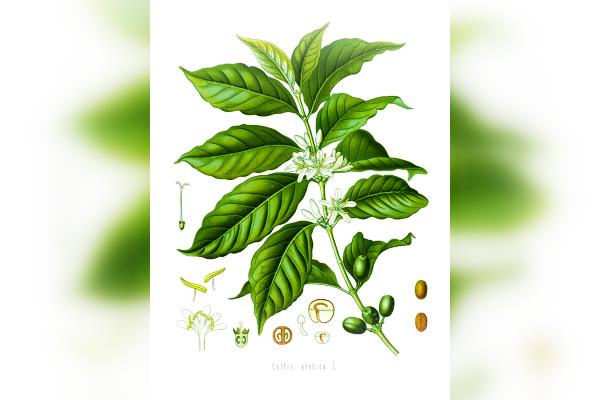 Coffea, foto wikipedia