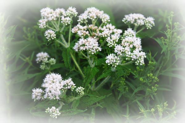 Eupatorium perfoliatum, homeopatie, sănătate, vindecare, cabinet medical, cabinet homeopatie, imunitate, vitalitate