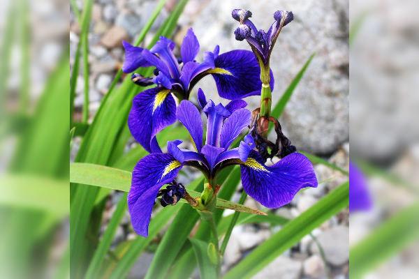 Iris versicolor, homeopatie, sănătate, vindecare, cabinet medical, cabinet homeopatie, imunitate, vitalitate