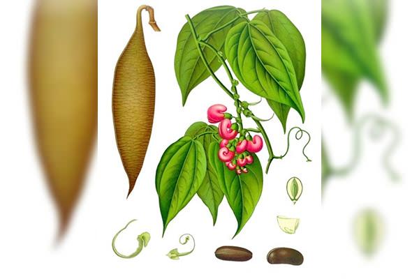 Physostigma venenosum, homeopatie, sănătate, vindecare, cabinet medical, cabinet homeopatie, imunitate, vitalitate