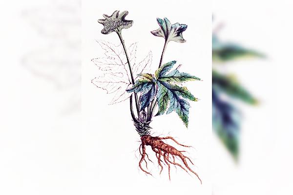 Senega, homeopatie, sănătate, vindecare, cabinet medical, cabinet homeopatie, imunitate, vitalitate